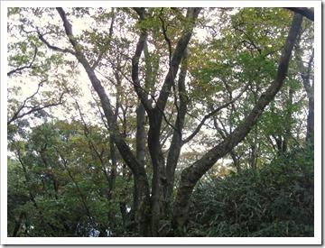 ブナの木(本文と関係ないです)