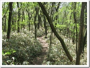 縦走路のブナ林
