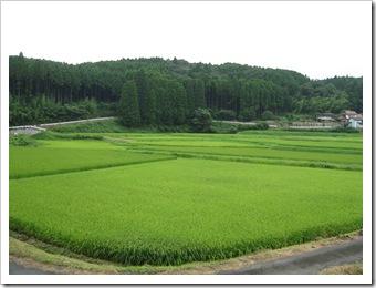 緑色の田んぼ